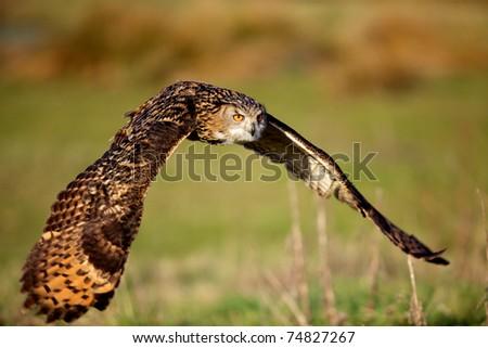 Eagle owl flying - stock photo