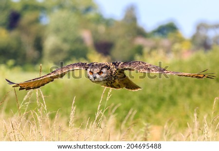 Eagle Owl flying low over a field - stock photo