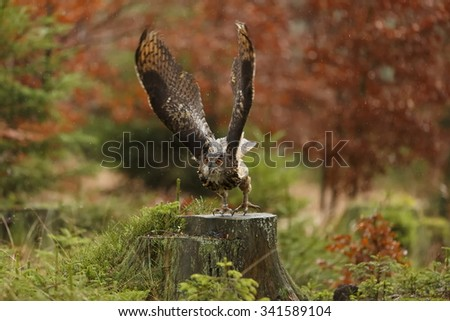 eagle owl is jump to fly - stock photo