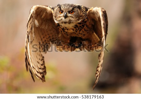 eagle owl is starting to fly