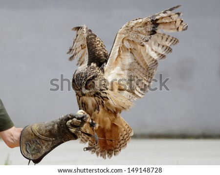 Eagle owl landed on the falconer's hand - stock photo