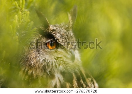 eagle owl look from green background