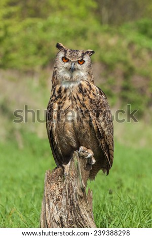 Eagle owl perched on tree stump. A magnificent eagle owl faces the camera from its perch on a tree stump. - stock photo
