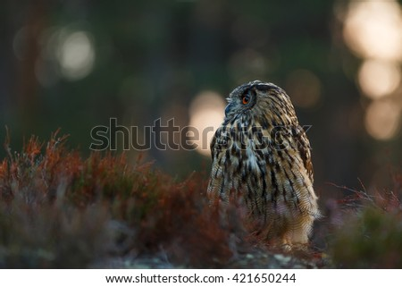 Eagle owl photographed in the early morning at sunrise. Owl looking out for prey at the moment of ending night. - stock photo