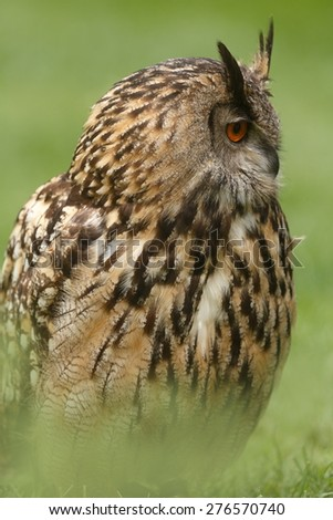 eagle owl sitting in grass