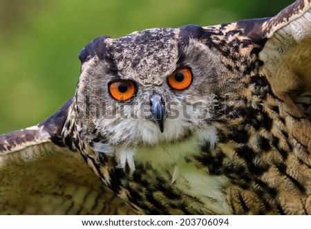 Eagle Owl swoops low over a field - stock photo