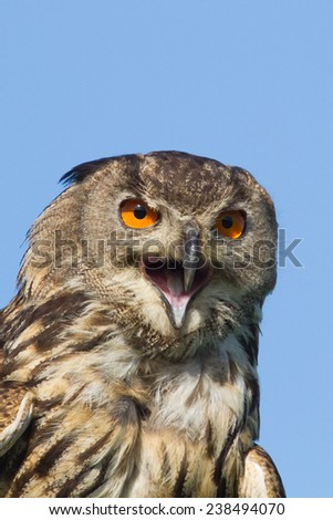 Eagle owl with mouth wide open and blue sky as background.