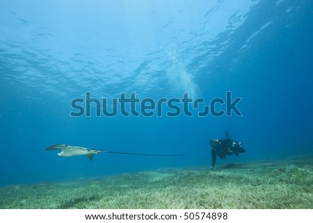 eagle ray, underwater photographer and ocean - stock photo