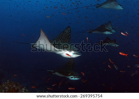 Eagle rays swimming by in Galapagos Ecuador - stock photo