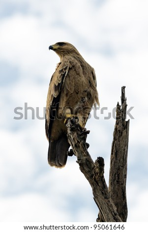 Eagle resting on the top of the dead tree - Serengeti, Tanzania - stock photo