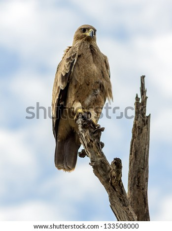 Eagle resting on the top of the dead tree - Serengeti, Tanzania, Eastern Africa - stock photo