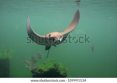 eagle string ray swimming, eagle ray - stock photo