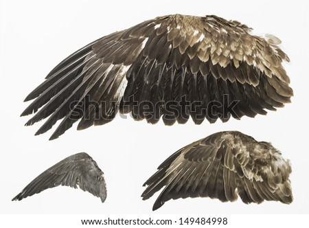 Eagle wings stuffed in exposure, animals and nature - stock photo