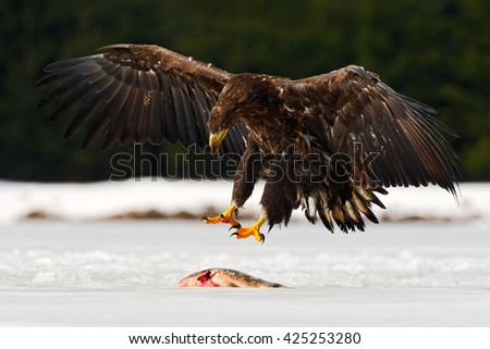 Eagle with fish. Eagle on the snow. Golden Eagle with catch fish in snowy winter, snow in the forest habitat, landing on ice. Eagle with open wing. Raptor with catch fish on the snow. - stock photo