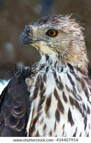 eagle with sharp eyes  - stock photo