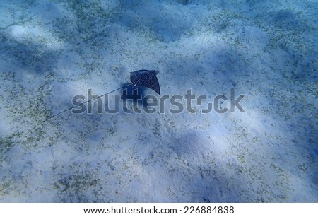 eagleray in the red sea