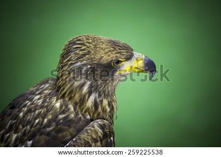 Eagles - stock photo