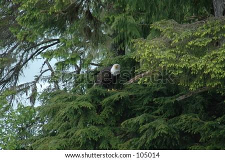 Eagles  (Alaska) - stock photo