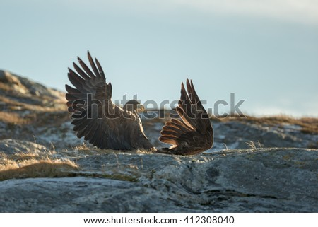 Eagles fighting over territory and food.  The aggressor on the left is the territory holder, attacking an interloper who has caught a fish and is trying to eat it inside the aggressors home area. - stock photo