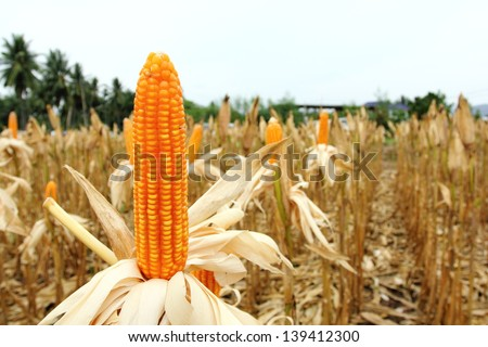 Ear corn in the field with sky. - stock photo