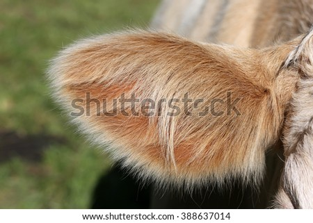 Ear of a Simmental cow in Switzerland - stock photo