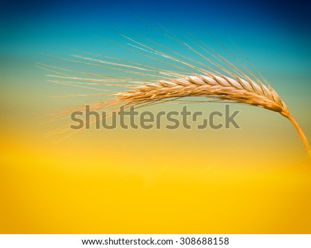 ear of corn - stock photo