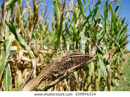 Ear of corn damaged by severe and extended drought in midwest United States. - stock photo
