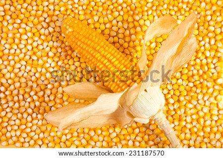 Ear of corn on a background of corn kernels  - stock photo