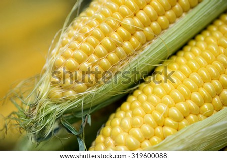 Ear of corn, revealing yellow kernels / Grains of ripe corn / photo of maize / close-up. Selective focus. - stock photo