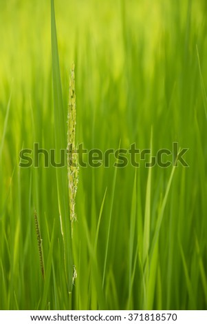 ear of grass in green field