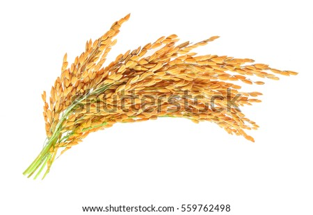 ear of paddy, ears of Thai jasmine rice isolated on white background
