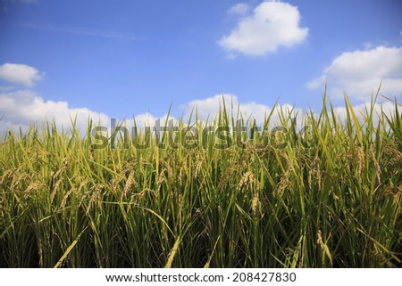 Ear Of Rice And Blue Sky