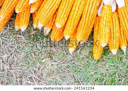ear of ripe corn on  grass with copyspace, background