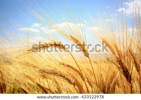 ear of wheat field in summer time - stock photo