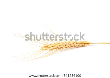 Ear of wheat isolated on white background. - stock photo
