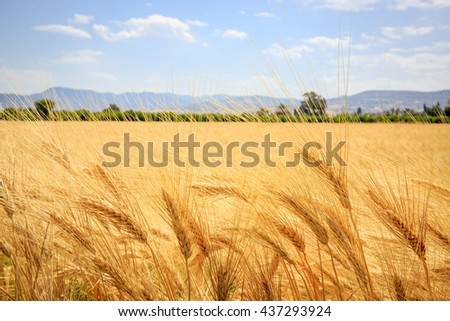 ear of wheat meadow in summer time