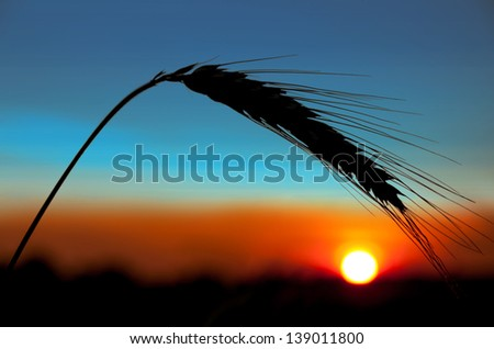 Ear of wheat on a background the sunset sun - stock photo