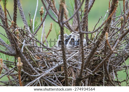 Eared Owl hatchlings in the nest. Asio otus. - stock photo