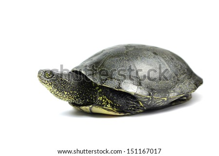 eared turtle on a white background