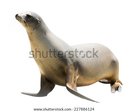 Earless seal Isolated  over white background - stock photo
