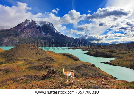 Early autumn in Patagonia. National Park Torres del Paine. On the yellowed grass stands guanaco - Lama. Snow-covered tops of the Andes are in the distance visible - stock photo