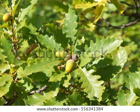 Early autumn leaves and acorns of sessile oak in bright sunlight - stock photo