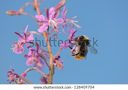 Early Bumblebee in summer - stock photo