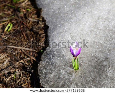 Early crocus risen from under winter ice - stock photo