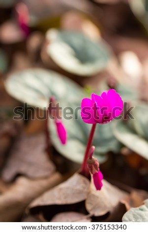 Early flower color magenta cyclamen growing in the forest close-up, shallow depth of field