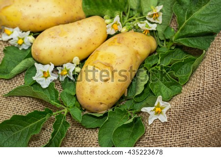 Early fresh German potato tubers variety Annabelle with potato flowers and leaves on burlap background, close up - stock photo