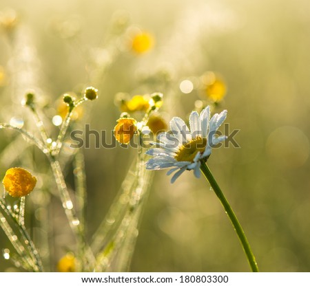 Early morning, blooming daisy on a green background covered with dew drops. - stock photo