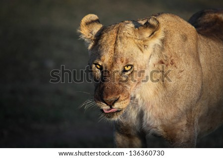 Early morning close-up portrait of an african lioness