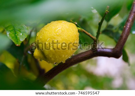 Early morning dew on a lemon tree