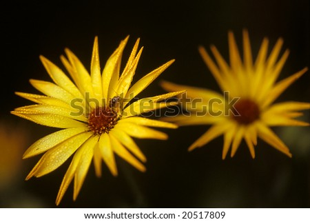 early morning, dew, the small bug sits on a yellow flower - stock photo